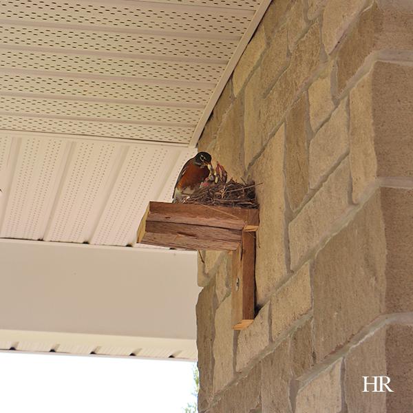 mama robin feeding baby robins
