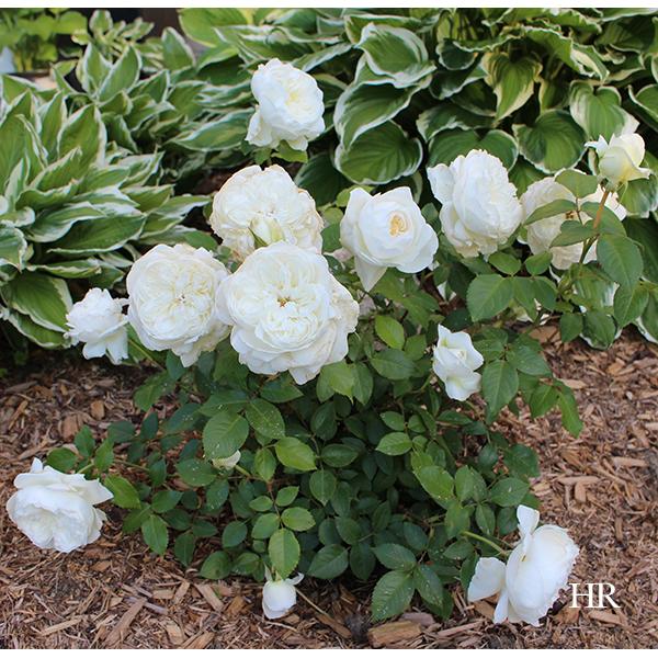 roses bolero floribunda rose