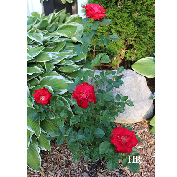 ten-ten hybrid tea roses
