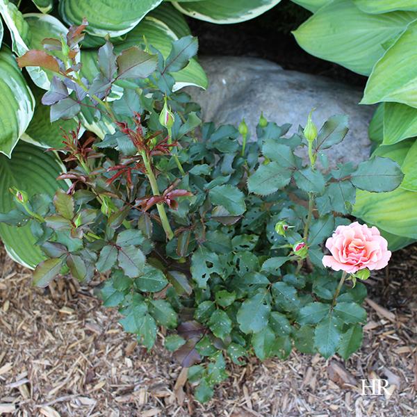 singin' in the rain floribunda rose