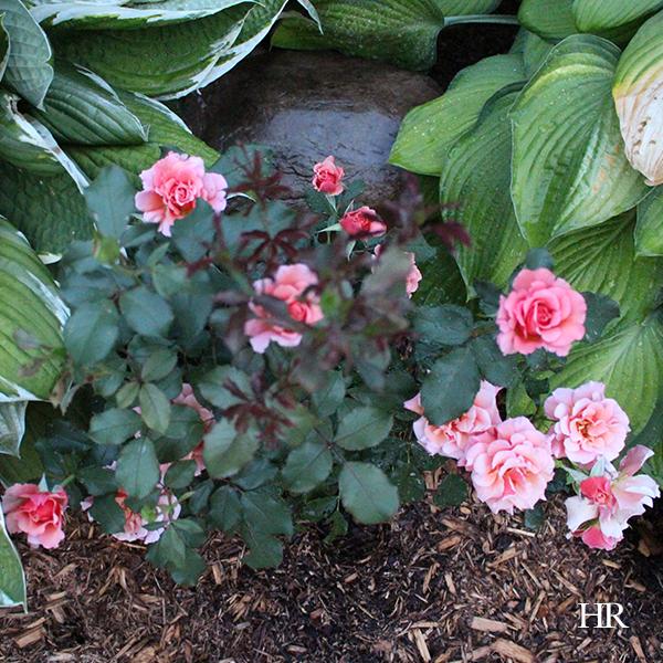 Singin' in the Rain Floribunda Roses