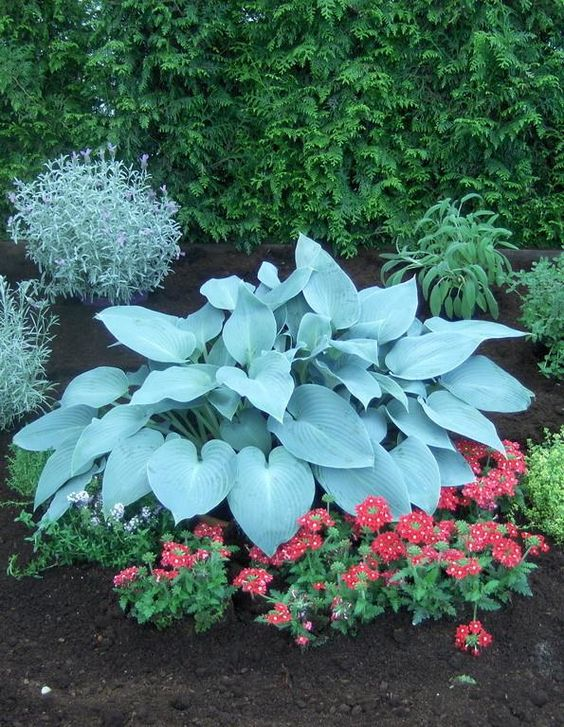 canadian blue hosta