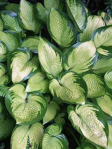 inniswood hostas