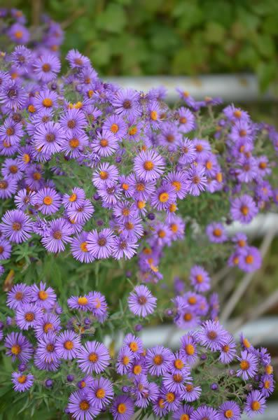 5 fall flowers for your garden asters