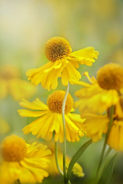 5 fall flowers for your garden helenium
