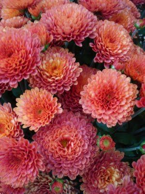 5 fall flowers for your garden mums