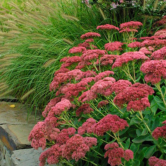 5 fall flowers for your garden sedum flowers