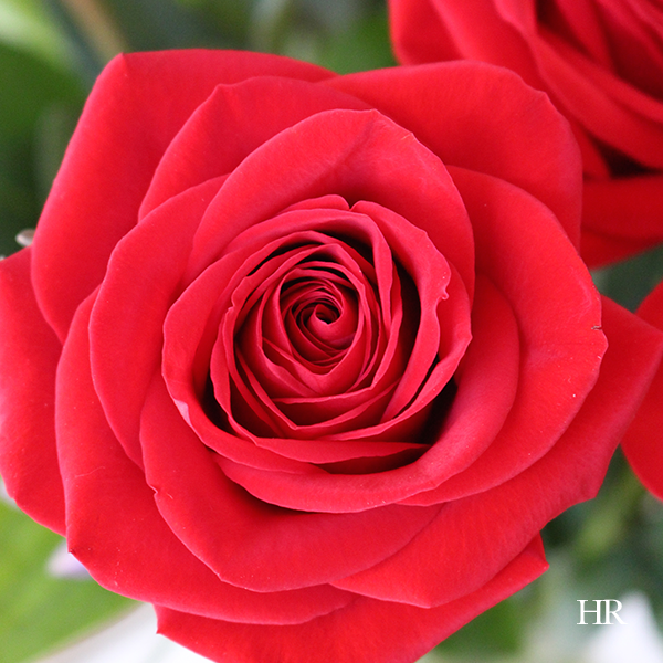 flowers to decorate with at Christmas red roses