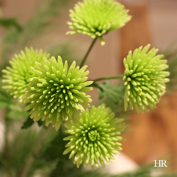christmas flowers to decorate green spray chrysanthemums