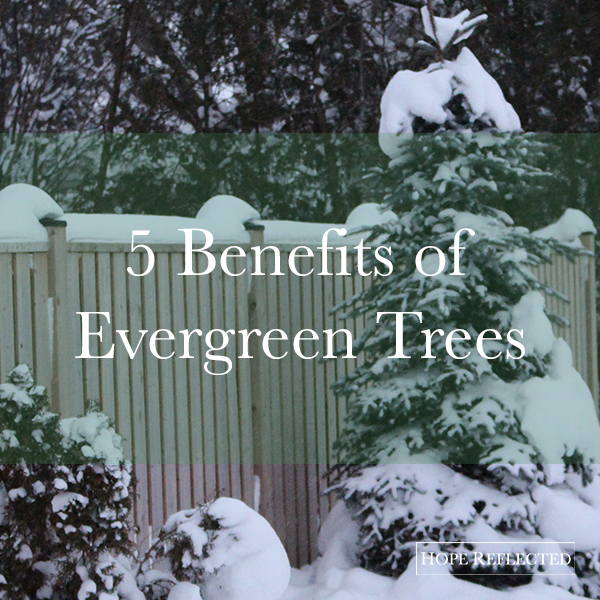 benefits of evergreen trees