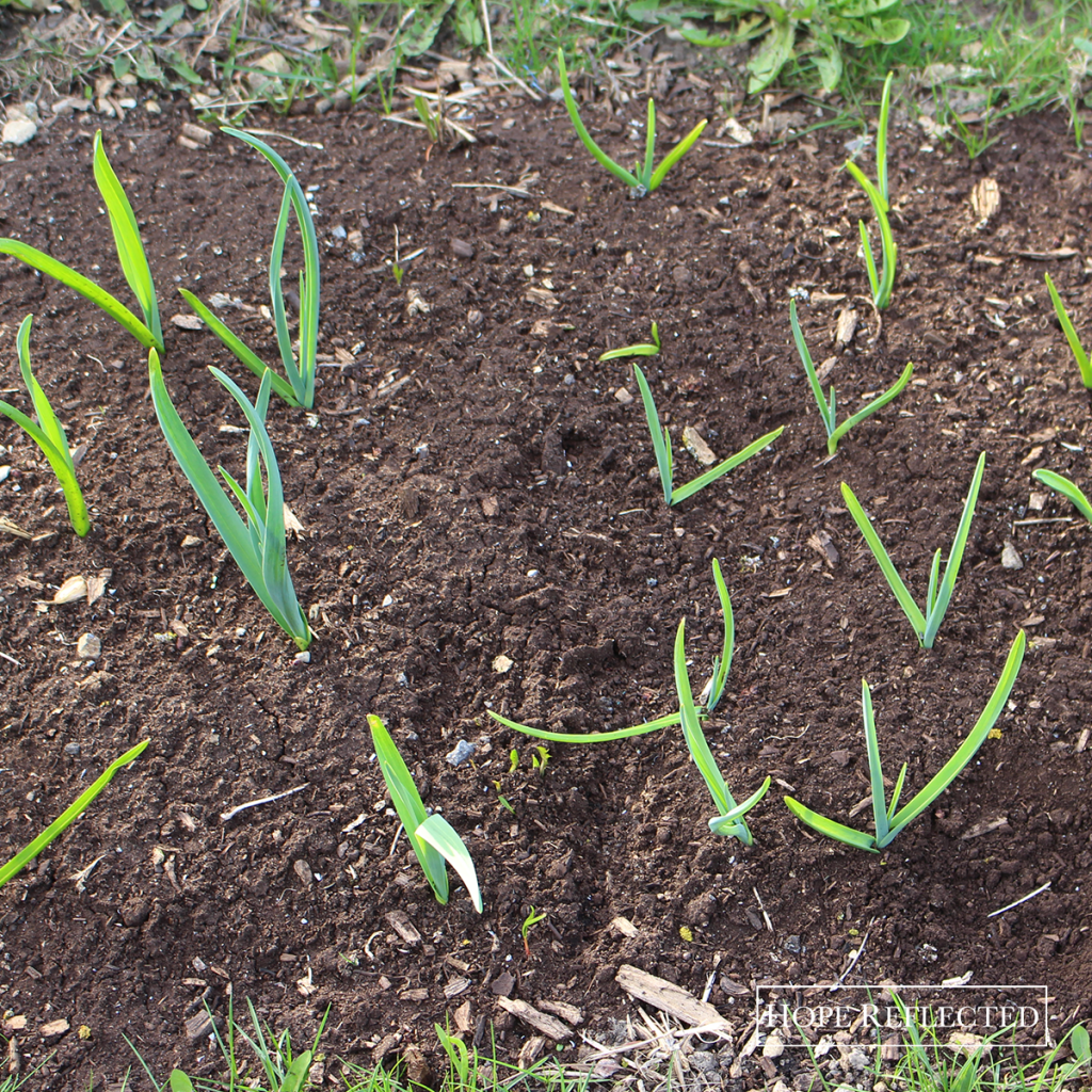 how to grow garlic growing garlic