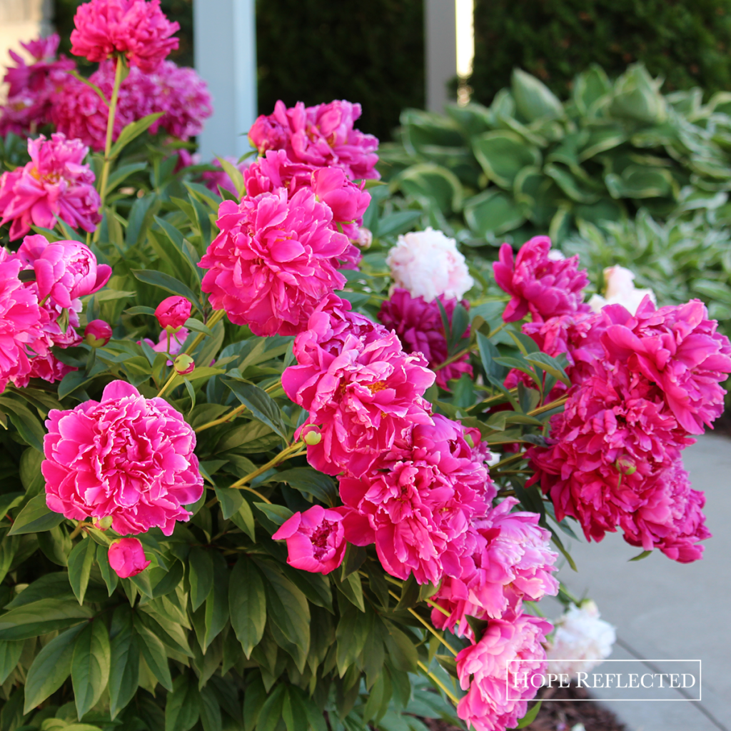 Gardening | Beautiful peonies | Best perennials | Hope Reflected