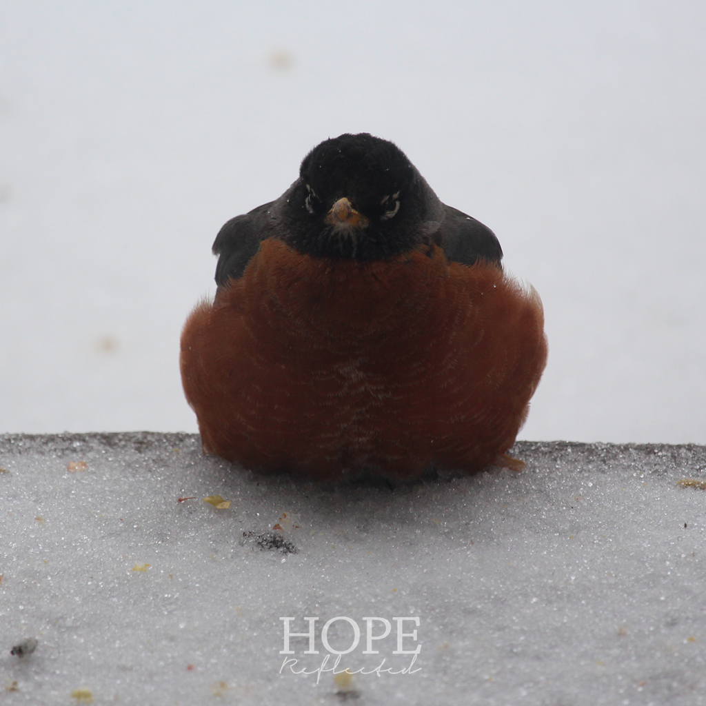 Tips for helping robins in winter | see more at hopereflected.com